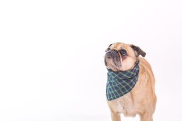 A dog wearing a scarf Description automatically generated